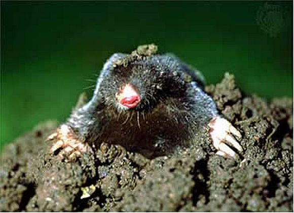 GardenMole How To Get Rid Of Ground Moles