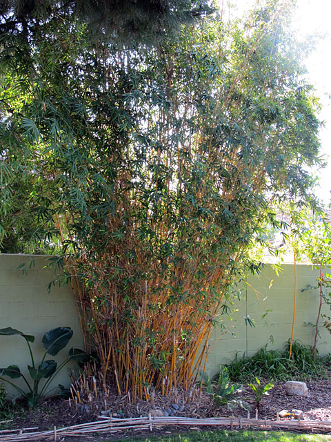 bamboo gardening Bamboozled? Turn Excess Cuttings into an Ornamental Border