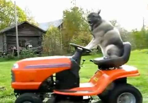 Cool Dog Mows the Lawn