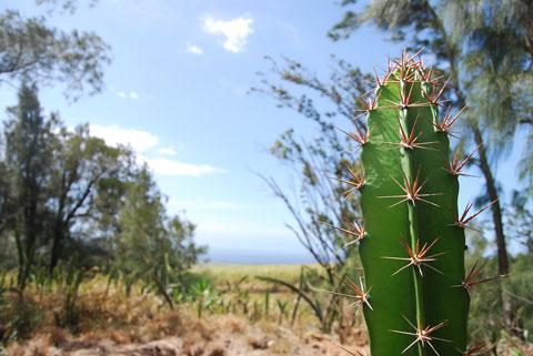 hawaii-cactus.jpg