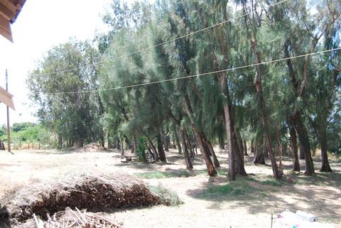 pine trees maui Xorin Balbes Maui Masterpiece: Ke Ao Lanihuli